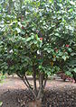 Hibiscus elatus kz2.JPG