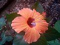 Hibiscus single.JPG