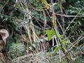Hibiscus vitifolius (6424430157).jpg