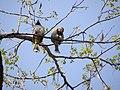 Himalayan Bulbul (White-cheeked Bulbul) - Pycnonotus leucogenys - DSC04981.jpg