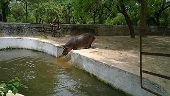 Hippo solo pic.jpg
