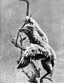 Pulcino di Hoazin in arrampicata su un ramo