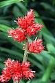 Hohenbergia stellata 5zz.jpg