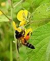 Honey Bee gathering pollen image by Dr. Raju Kasambe DSCN4801 (15).jpg