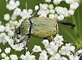 Hoplia-argentea-02-fws.jpg