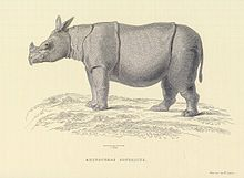Gravura de Thomas Horsfield, proveniente do Zoological researches in Java, and the neighbouring islands (1824).