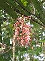 Humboldtia brunonis - Brown's Humboldtia at Peravoor (5).jpg