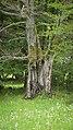 Hutebuche4b Rückseite im Rhönwald.jpg