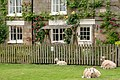 Hutton le hole sheep C9669.jpg
