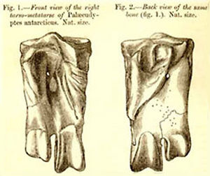 Palaeeudyptes - Huxley's original illustration of the fossil of an ankle bone from Palaeeudyptes antarcticus described in 1859.