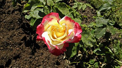 Hybrid Tea - Double Delight 7 (cr).JPG