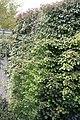 Hydrangea anomala petiolaris 10zz.jpg