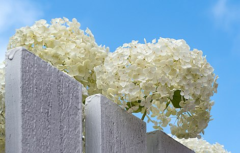 Hydrangea arborescens Annabelle over a fence
