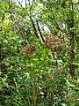 Hydrangea macrophylla (Thunb.) Ser. (AM AK317497-1).jpg