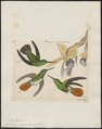 Hylocharis recurvirostris - 1820-1860 - Print - Iconographia Zoologica - Special Collections University of Amsterdam - UBA01 IZ19100531.tif