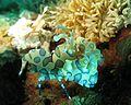 Hymenocera picta55.jpg