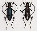 Hypargyra cribripennis (15990930274).jpg