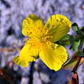 Hypericum in the Scrub (5377722750).jpg