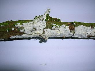 Corticioid fungi - The corticioid fungus Hyphodontia sambuci, common on dead elder branches