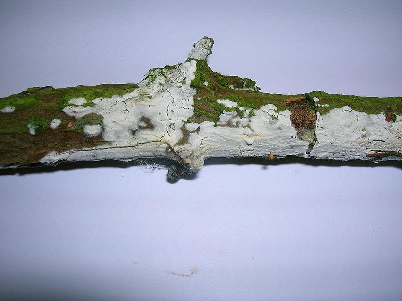 Hyphodontia sambuci Eglinton.JPG