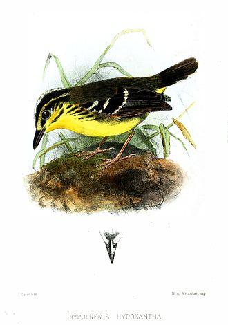 Yellow-browed antbird - Image: Hypocnemis Hypoxantha Smit
