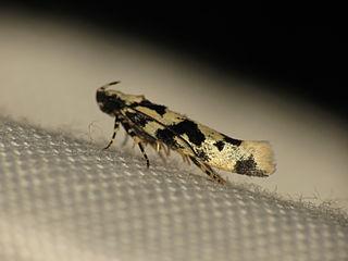 <i>Hyposmocoma alliterata</i> Species of moth