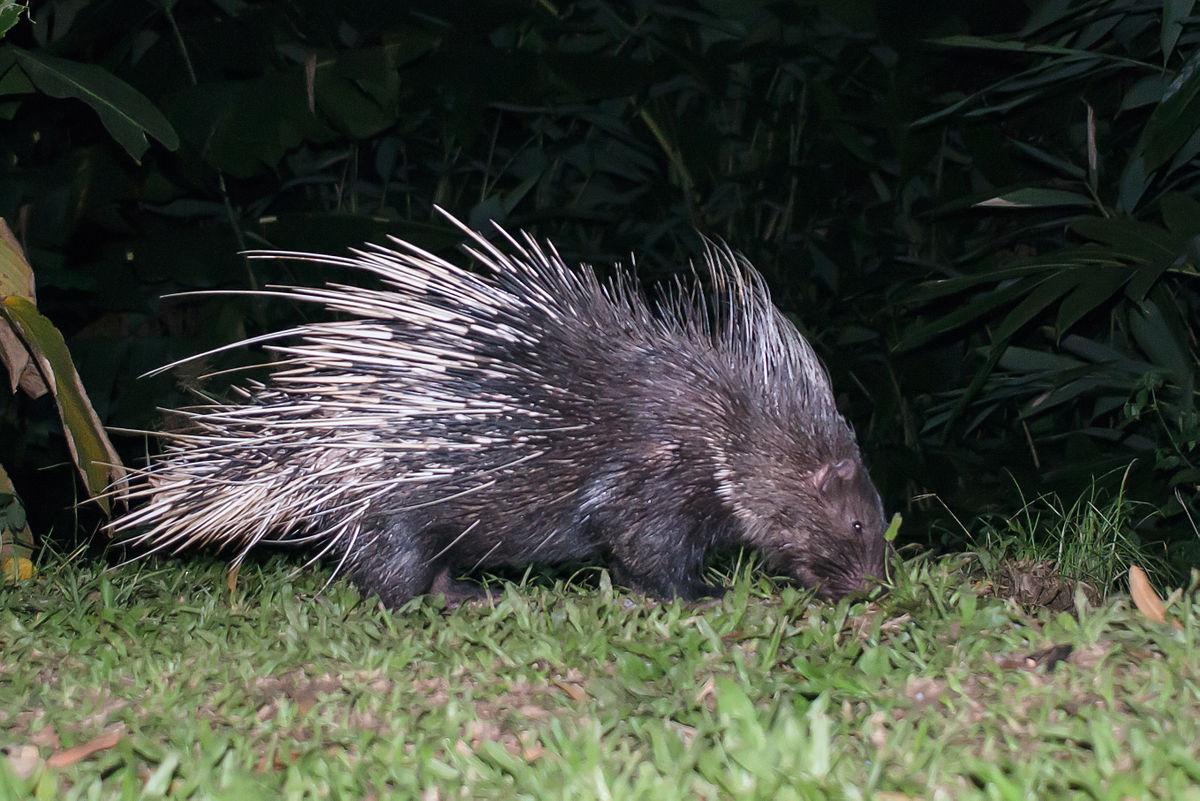 Malayan porcupine - Wikipedia