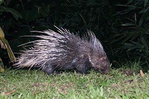 Malayan porcupine - Hystrix brachyura, Malayan porcupine - Kaeng Krachan National Park, Thailand