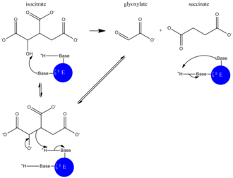 Isocitrate lyase - Image: ICL catalyzed rxn