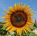 IMG Sonnenblume 8178-2.jpg