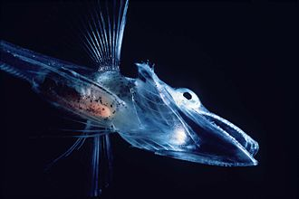 Fish of the Notothenioidei suborder, such as this young icefish, are mostly restricted to the Antarctic and Subantarctic Icefishuk.jpg