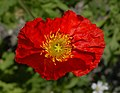 Iceland Poppy Papaver nudicaule 'Champagne Bubbles' Red Top.jpg