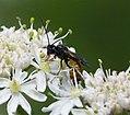 Ichneumonid Wasp (34790094724).jpg