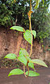 Ichnocarpus frutescens 04.JPG