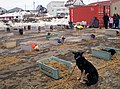 Iditarod dog lot (4458491861).jpg