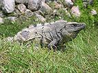 Iguana in Mexico.jpg