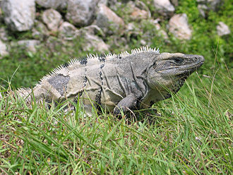 Ctenosaura - a spinytail iguana in Mexico