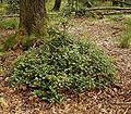 Ilex aquifolium 08 ies.jpg