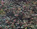Ilex aquifolium RJB.jpg