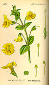 Illustration Mimulus guttatus0