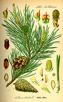 Illustration Pinus sylvestris0.jpg