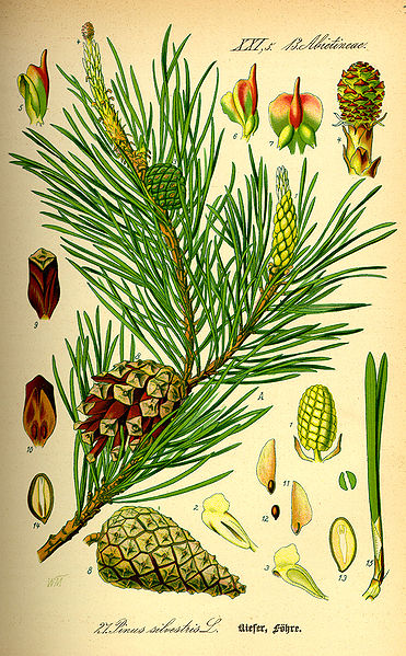 Bild:Illustration Pinus sylvestris0.jpg