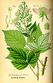 Illustration Rubus candidans0.jpg