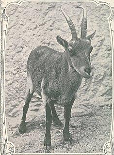 Portuguese ibex