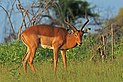 Impala (Aepyceros melampus) male.jpg