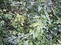 ImpatiensParviflora-plant-sm.jpg