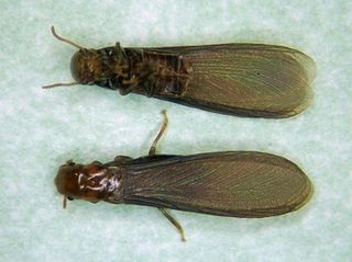 <i>Incisitermes minor</i> species of insect