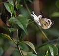 Indian Cabbage White (Pieris canidia) on Coffea benghalensis at Jayanti, Duars, West Bengal W Picture 085.jpg