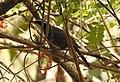 Indian Scimitar Babbler Pomatorhinus horsfieldii by Dr. Raju Kasambe DSCN0133 (2).jpg