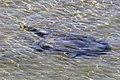 Indian softshell turtle (Nilssonia gangetica) Babai River.jpg